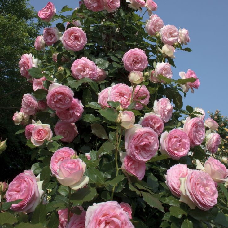 сорта роз с фото и названиями плетистые представлена виде тонкой